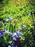 Esquila y abeja alpinas Fotos de archivo libres de regalías