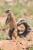 Esquilo à terra Imagens de Stock