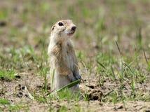 Esquilo à terra Fotos de Stock Royalty Free