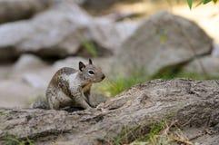 Esquilo à terra Fotos de Stock