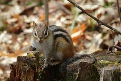 Esquilo à terra Imagem de Stock Royalty Free