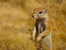 Esquilo à terra Foto de Stock