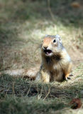 Esquilo à terra Imagens de Stock Royalty Free