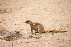 Esquilo à terra africano Imagem de Stock Royalty Free