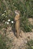 Esquilo à terra/citellus europeus do Spermophilus Imagens de Stock