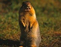 Esquilo à terra Columbian Fotos de Stock Royalty Free