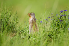 Esquilo à terra columbian (columbianus do Spermophilus) Fotos de Stock