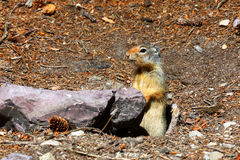 Esquilo à terra Columbian - Montana Imagem de Stock Royalty Free