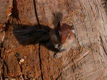 Esquilo à terra da cornija de lareira dourada Fotografia de Stock