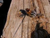 Esquilo à terra da cornija de lareira dourada Foto de Stock