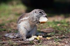 Esquilo à terra da montanha africana Fotografia de Stock