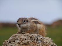 Esquilo à terra de Barbary na ilha espanhola Fuerteventura Foto de Stock
