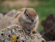 Esquilo à terra de Barbary na ilha espanhola Fuerteventura Imagens de Stock