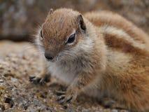 Esquilo à terra de Barbary na ilha espanhola Fuerteventura Fotografia de Stock Royalty Free