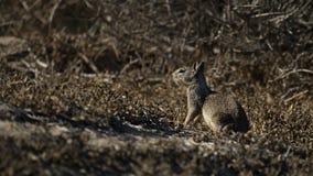 Esquilo à terra de Califórnia no habitat natural Fotografia de Stock