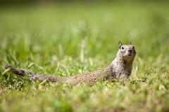 Esquilo à terra de Califórnia, sciuridae Fotografia de Stock Royalty Free