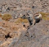 Esquilo à terra 1 de Fuerteventura barbary Fotografia de Stock Royalty Free