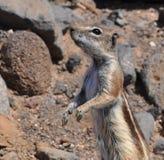 Esquilo à terra 7 de Fuerteventura barbary Imagem de Stock Royalty Free