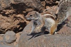 Esquilo à terra 9 de Fuerteventura barbary Fotografia de Stock
