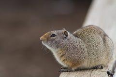 Esquilo à terra de Uinta Fotografia de Stock