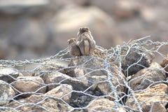 Esquilo à terra de Unstriped em Jibuti fotos de stock royalty free