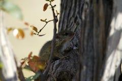Esquilo à terra do cabo Fotografia de Stock Royalty Free