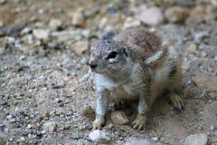 Esquilo à terra do cabo Foto de Stock