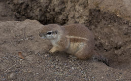 Esquilo à terra do cabo Foto de Stock Royalty Free