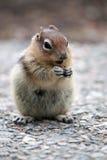 Esquilo à terra Dourado-Envolvido Fotos de Stock Royalty Free
