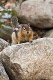 esquilo à terra Dourado-envolvido Imagens de Stock