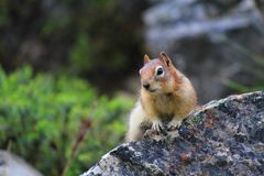 Esquilo à terra Dourado-Envolvido Imagens de Stock Royalty Free