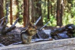 Esquilo à terra Dourado-Envolvido Imagem de Stock