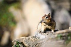 esquilo à terra Dourado-envolvido (lateralis de Callospermophilus) Foto de Stock Royalty Free