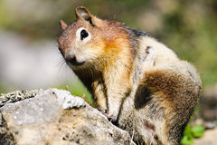 esquilo à terra Dourado-envolvido (lateralis de Callospermophilus) Imagem de Stock Royalty Free