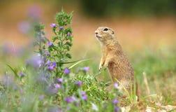 Esquilo à terra e flor Fotos de Stock Royalty Free