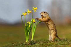 Esquilo à terra e narcisos amarelos imagem de stock