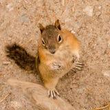 Esquilo à terra envolvido dourado Foto de Stock