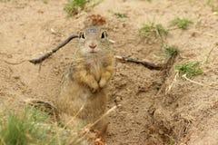 Esquilo à terra europeu Fotografia de Stock