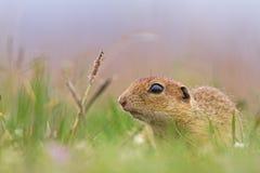 Esquilo à terra europeu Imagens de Stock Royalty Free
