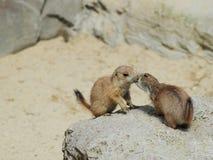 Esquilo à terra europeu Fotografia de Stock Royalty Free