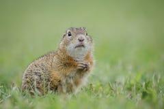 Esquilo à terra europeu Foto de Stock