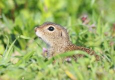 Esquilo à terra europeu, citellus do Citellus Imagens de Stock Royalty Free