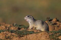 Esquilo à terra europeu (citellus do Spermophilus) Imagem de Stock