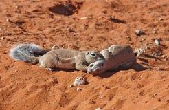 Esquilo à terra (inaurus de Xerus) Foto de Stock
