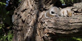 Esquilo à terra na filial Imagens de Stock Royalty Free