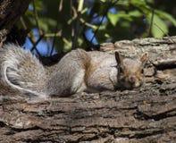 Esquilo à terra na filial Foto de Stock