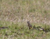 Esquilo à terra na grama de pradaria Fotos de Stock Royalty Free