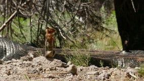 Esquilo à terra no alerta para o perigo video estoque