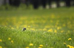 Esquilo à terra no campo Fotografia de Stock Royalty Free