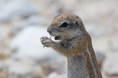 Esquilo à terra no etosha Fotografia de Stock Royalty Free
